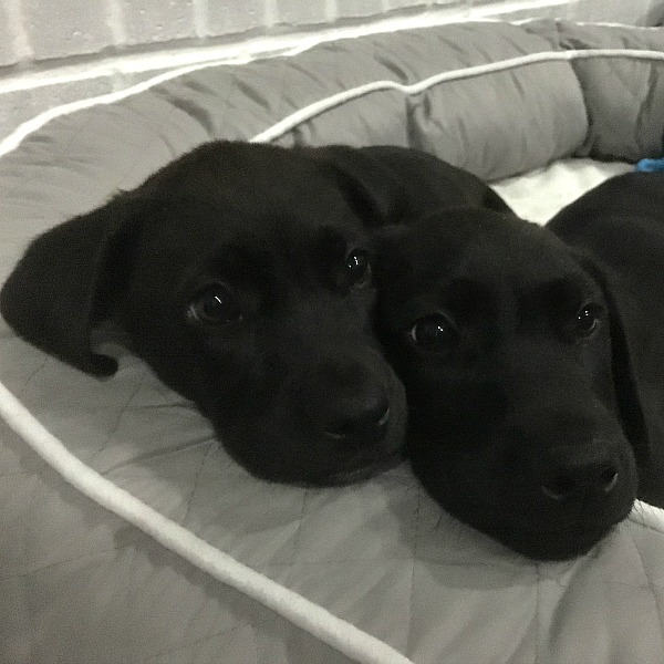 Our new puppies | rainerlife.com