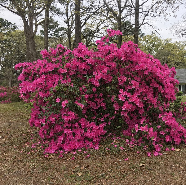 Azaleas in our yard | rainerlife.com