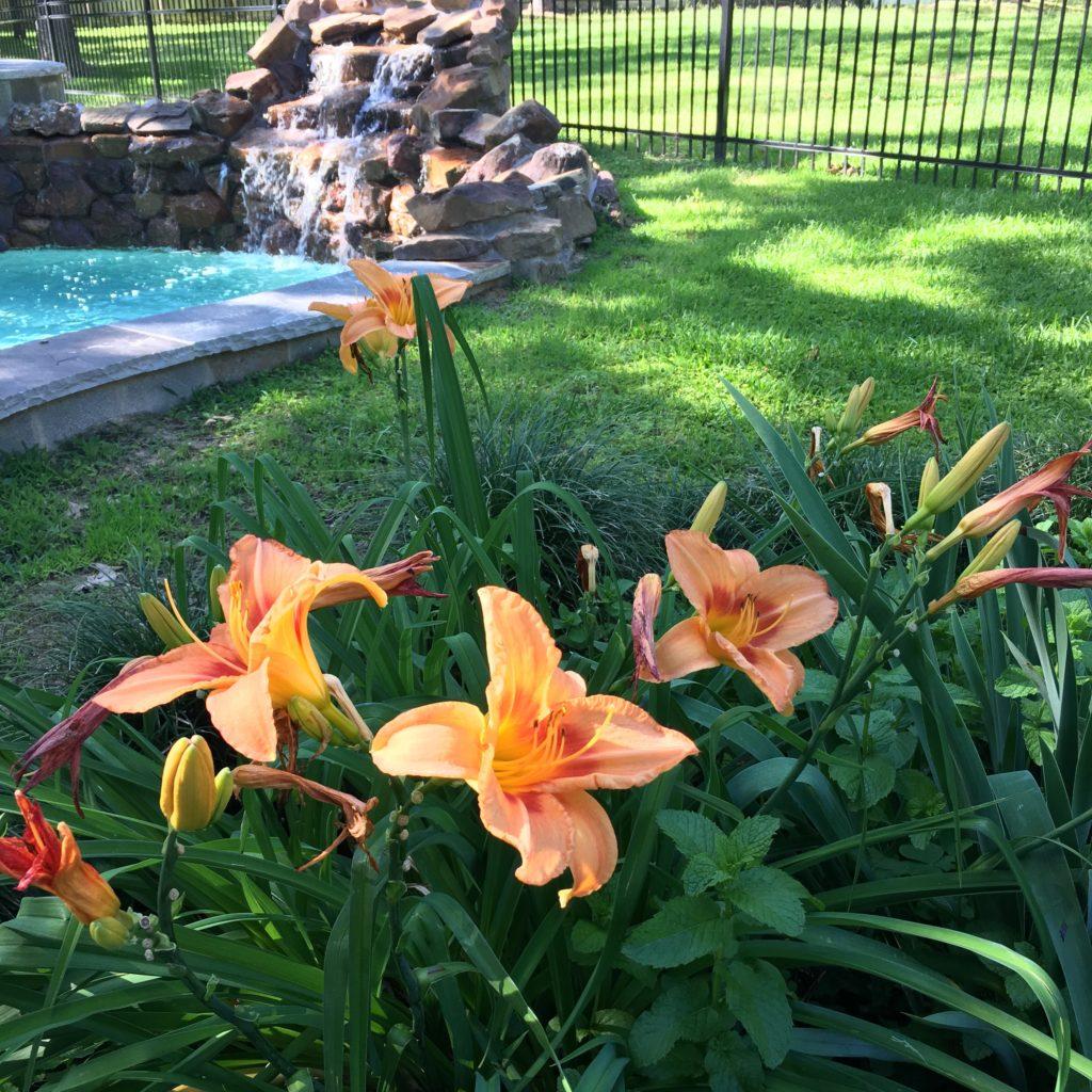 Daylilies | rainerlife.com