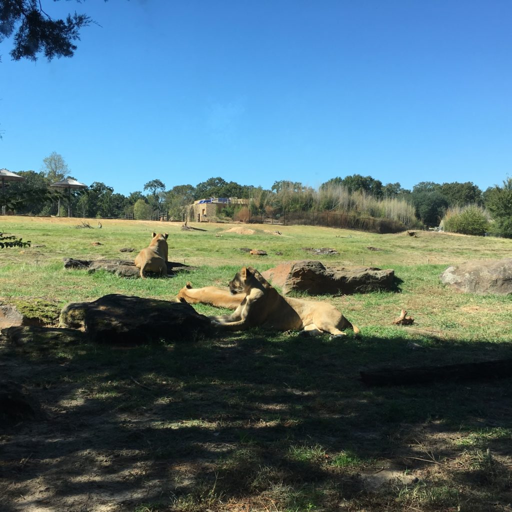 Lions at the zoo | rainerlife.com