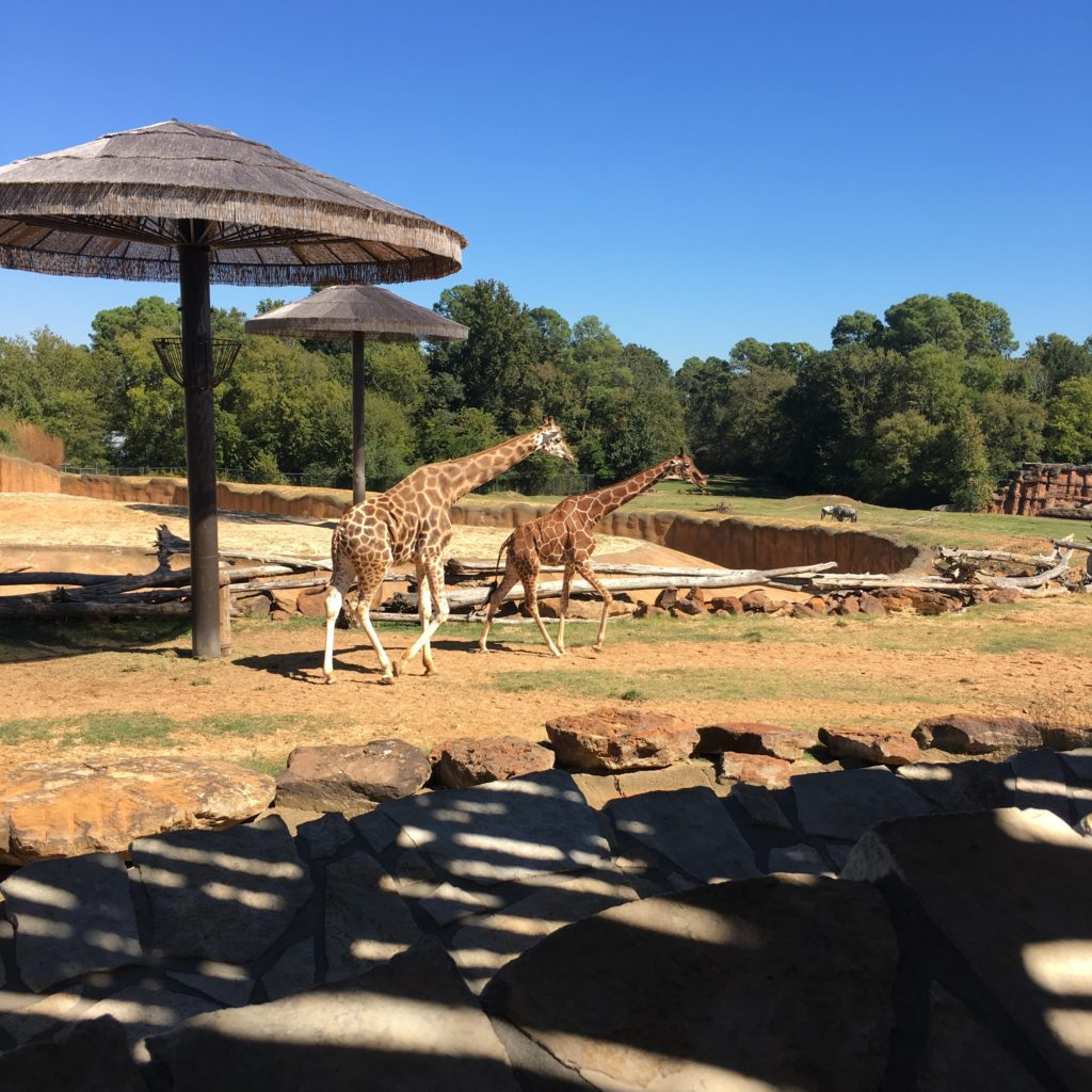 Giraffes at the zoo | rainerlife.com