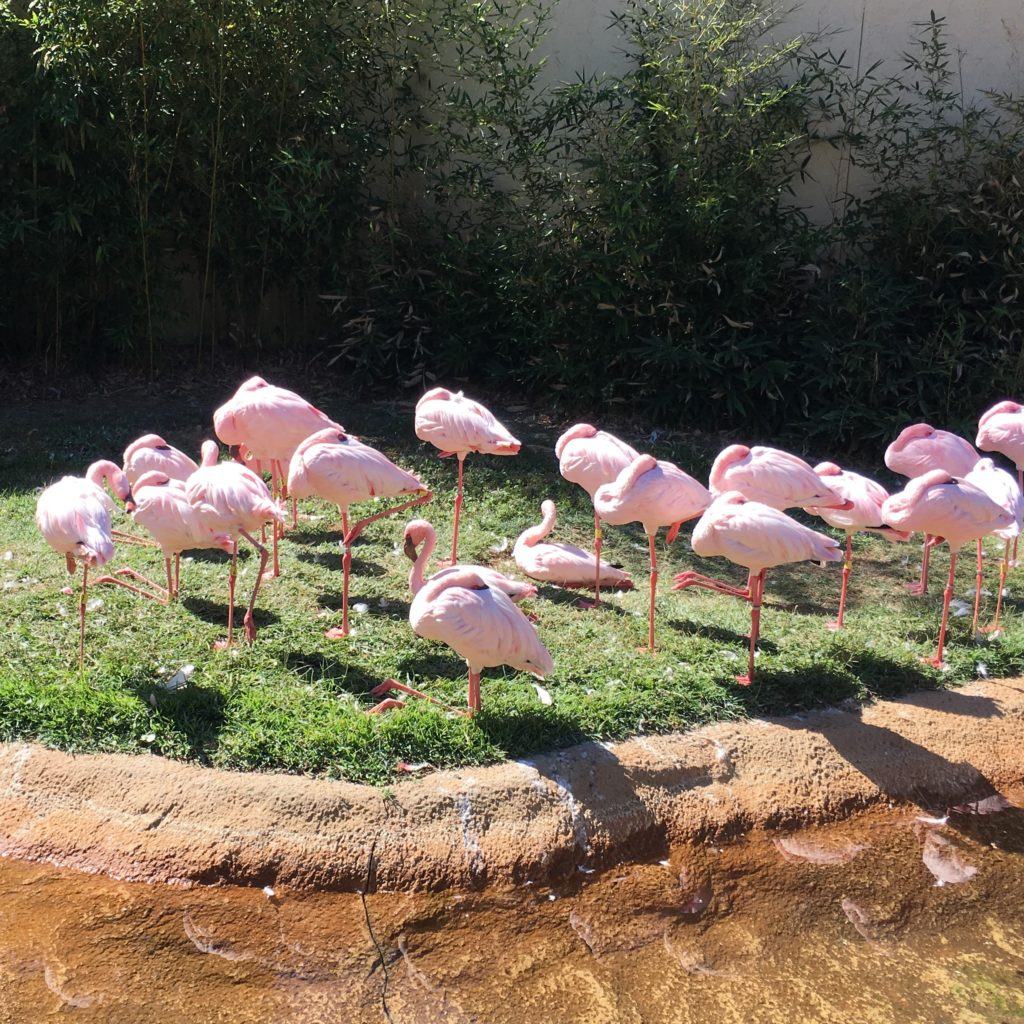 Pink flamingos at the zoo | rainerlife.com